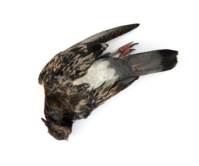 Pigeonstudy