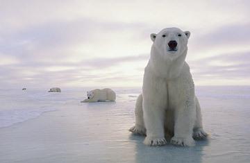 Polar_bear_0812